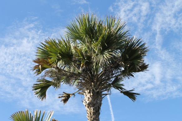 Here's something else I've learned since moving south.  Every few weeks the landscaper comes through our neighborhood and cuts back the dead fronds from these palm trees.  If they don't do that, the dead and decaying fronds mat together and become nests for rats and snakes!  Now that is something I'd have rather never learned . . . . sure am glad they're making sure they keep them cut back!
