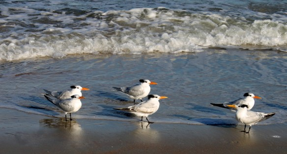 I've already fallen in love with these beauties - they're Royal Terns.