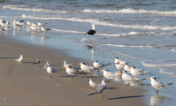"""We came upon this huge flock of gulls and terns and couldn't help but notice the """"big daddy"""" gull in the middle."""
