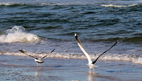 When Ted scattered them, we could really see how big his wing span was compared to the other birds.