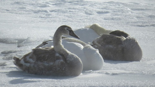 This may have been on that same day.  Swans hunkering down on the ice and hiding their heads from the wind.  (Photo: Clark Bloswick)