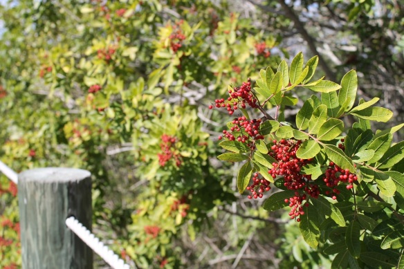 Things we saw walking back from the dock . . . red berries (wonder if they are edible).