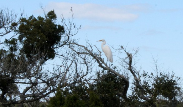 And a wonderful Egret resting in the top of a mostly dead tree.