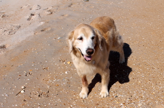 We still can't believe that neither Bear nor Maddie seem to care at all about running into the ocean.  I guess when you get to senior citizen status on dogdom before really being exposed to the ocean, all that water can be a little intimidating!