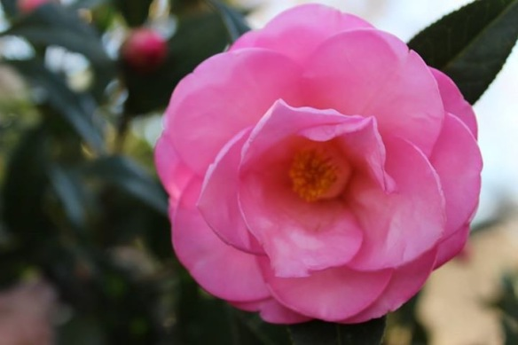 Lake Blackshear friend Marianne Lashley shared that the Camellias are blooming at the lake.  I bet our old yard is full of these pink and white blooms right now.  I miss Camellias . . . and I miss Marianne!