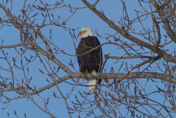 In Town!!  Robert McGreevy photographed this spectacular Bald Eagle hanging on in the Cottenwood Tree on Benjamin Hill.