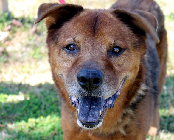 Meet Boyze - a 7 year old Shepherd/Chow mix with a touch of arthritis.  He deserves to be pampered and loved for many years to come.