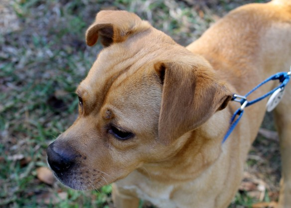 Cute little Buster!  This little guy has a great personality! and is only a year old.  He's a Beagle/Pug Mix (a Puggle)!