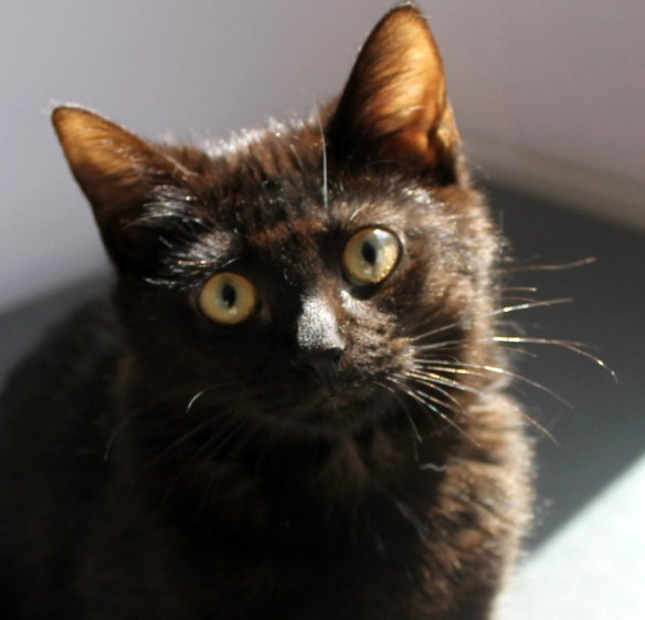 The first kitten I've photographed - this is Billie-Jo, a 3-month-old solid black bundle of love, love, love!