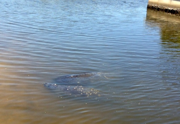We're visited almost every day now by at least 2-3 manatees in our inlet.  So fun to watch them swim in, feed, then swim back out to the intracoastal.