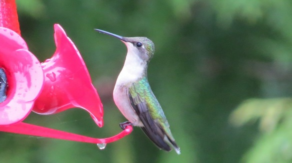 The first hummingbird of the season - as spotted by Clack Bloswick.