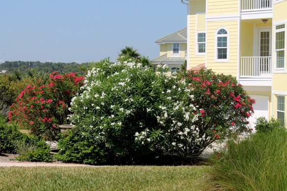Sometimes we walk back home on the beach, and other times we cross A1A and walk back on the sidewalk.  The oleanders are in full bloom now (both red and white), and I think they pretty bloom all summer.