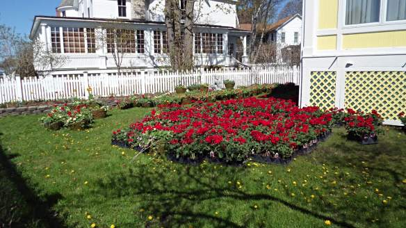Geraniums await planting at the Windermere.  (Photo: Jill Sawatzki)