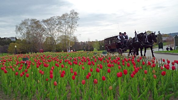 Looks like it's going to be a bumper crop of tulips at the Grand this year!  (Photo: Jill Sawatzki)