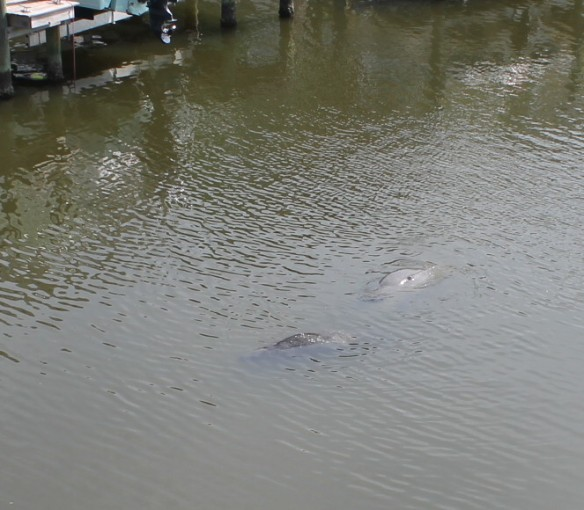 A couple of manatees were feeding in our inlet yesterday at low tide.