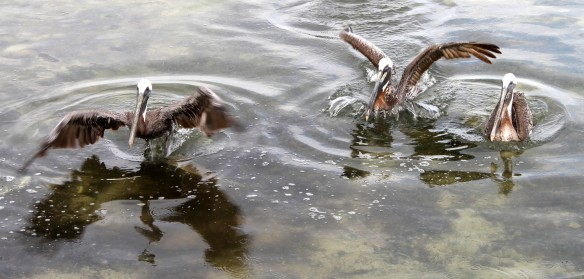 . . . . and throw the leftovers to the waiting Pelicans.