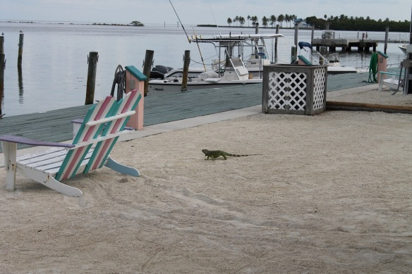 . . . and an unbelievable number of iguanas roaming around.