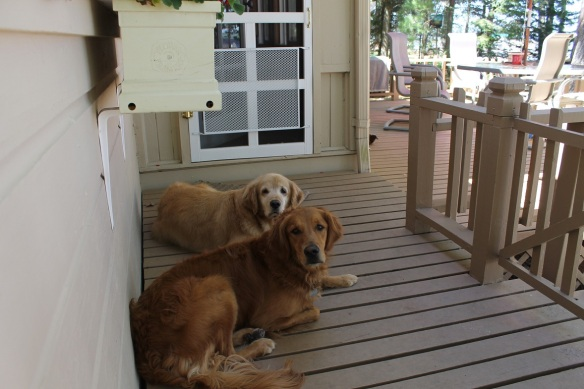 . . . and two resident Goldens (Brinkley and Ruby) that have made Bear and Maddie welcome.