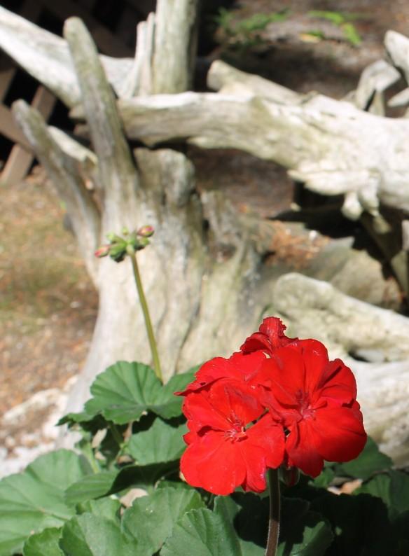 . . . geraniums!