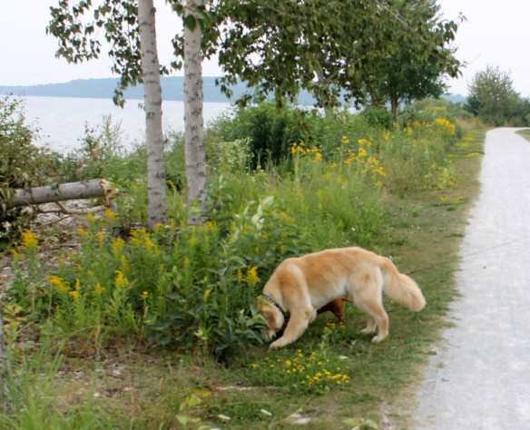 True doggie happiness - a hundred new and interesting smells to explore and process!
