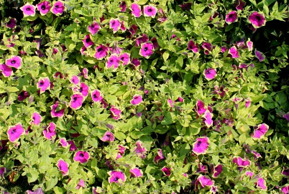 These are Supertunias - I remember because there are about a dozen new varieties, and they are growing all over the island. I loved these with the green edges and purple middles.