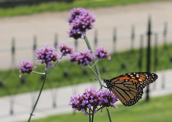 The Monarch Butterflies were everywhere that day and seemed to really like the flowers at this cottage.