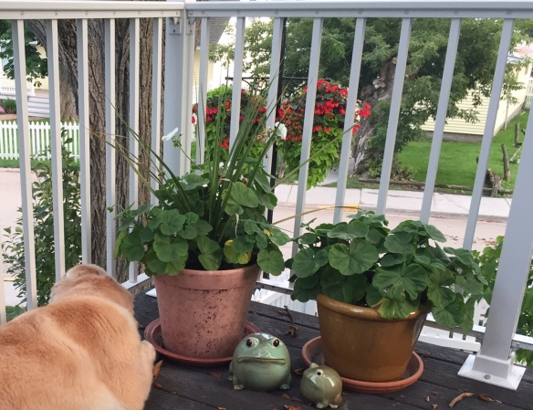 Bear's new favorite spot - with his head between the porch rails and overseeing the carriage, bike, and pedestrian traffic down below.